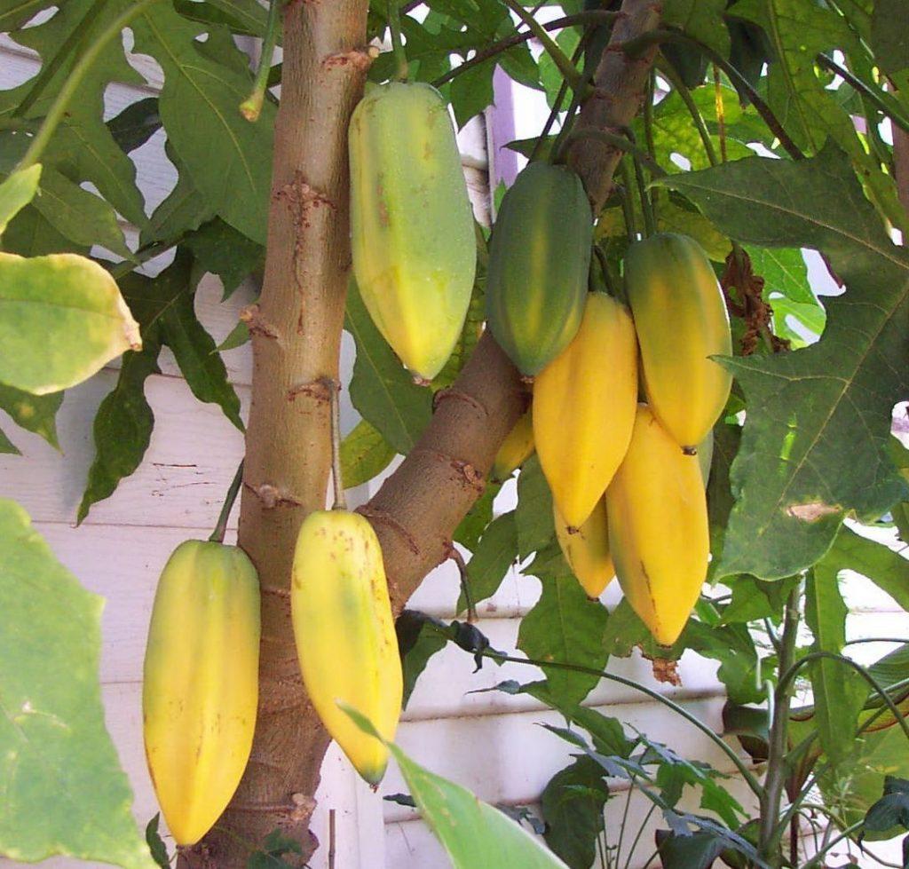planta babaco
